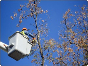 Greenlawn tree pruning